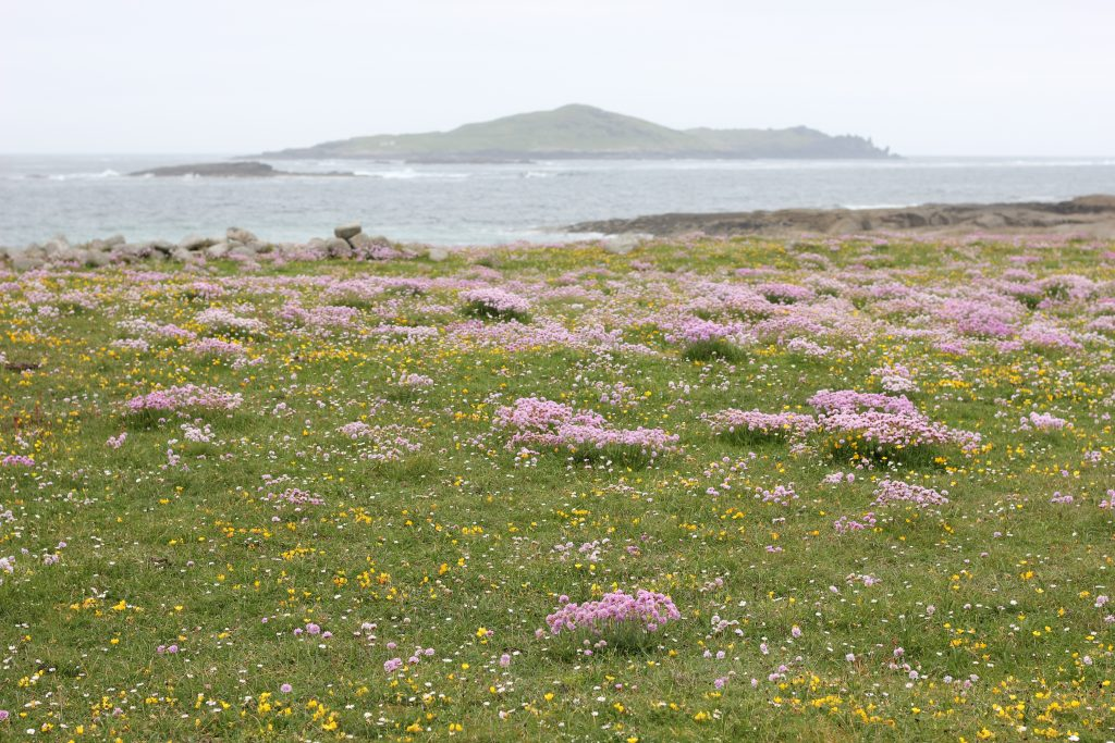 Wildflowers on Omey Island.