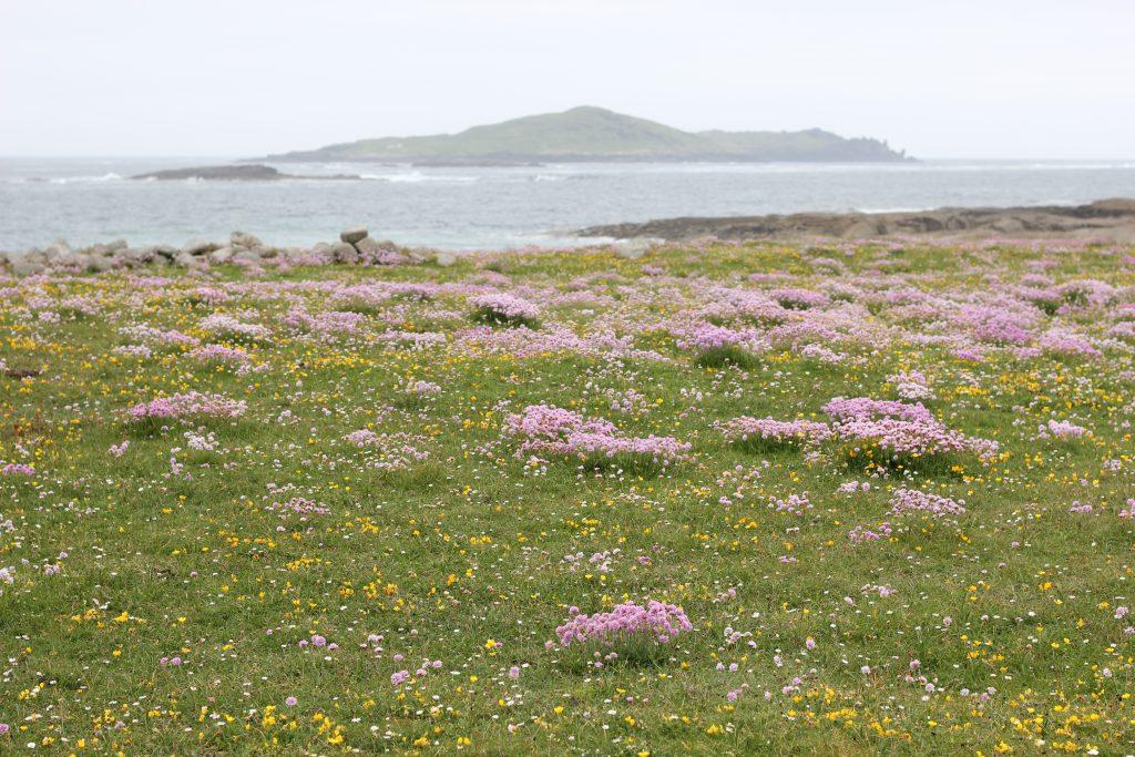 Wildflowers on Omey Island.