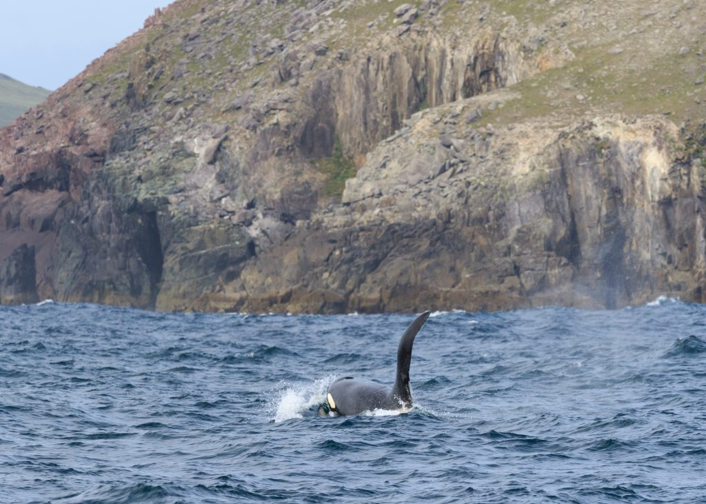 Killer Whale, West Kerry